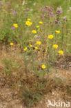 Gele kamille (Anthemis tinctoria)