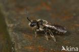 Gewone klokjesglansbij (Dufourea dentiventris)