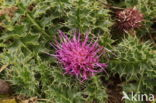 Aarddistel (Cirsium acaule)