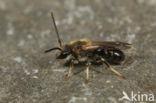 Gedoornde groefbij (Lasioglossum laevigatum)