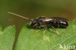 Lasioglossum subfulvicorne