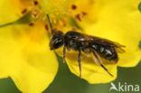 Gewone dwergzandbij (Andrena minutula)