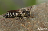 Rosse kegelbij (Coelioxys rufescens)