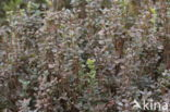 Rijsbes (Vaccinium uliginosum)