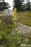 Gele gentiaan (Gentiana lutea)