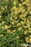 Alpenvrouwenmantel (Alchemilla alpina)