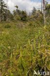 Stekende wolfsklauw (Lycopodium annotinum)