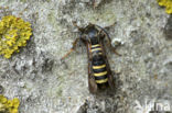 frambozenglasvlinder (Pennisetia hylaeiformis)