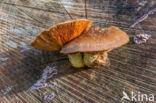 Wollige bundelzwam (Pholiota populnea)