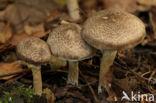 Geringde ridderzwam (Tricholoma cingulatum)