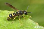 Ancistrocerus trifasciatus