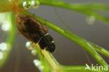 Helophorus flavipes