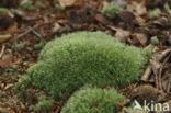 Kussentjesmos (Leucobryum glaucum)