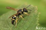 Euodynerus quadrifasciatus