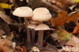 Heksenschermpje (Mycena rosea)