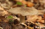 Breedplaatstreephoed (Megacollybia platyphylla)