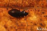 Ochthebius pusillus