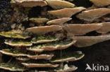 Witte bultzwam (Trametes gibbosa)