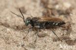 Tachysphex nitidus