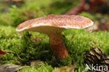 Holsteelboleet (Boletinus cavipes)