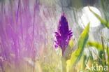 Orchidee spec.