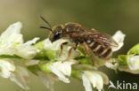 Parkbronsgroefbij (Halictus tumulorum)