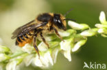 Tuinbladsnijder (Megachile centuncularis)