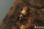 Anacaena bipustulata
