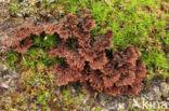 Gewone franjezwam (Thelephora terrestris)