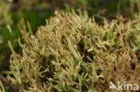 Open heidestaartje (Cladonia crispata)