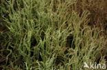 Ruw heidestaartje (Cladonia scabriuscula)