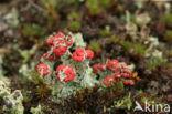 Rood bekermos (Cladonia coccifera)