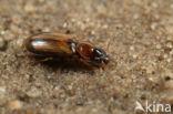 Moerashaaroogje (Trichocellus placidus)