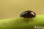 Olibrus pygmaeus