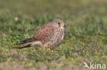 Europese  torenvalk (Falco tinnunculus tinnunculus)