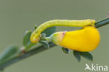 Herfstbremspanner (Chesias legatella)