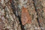 Dubbelstipvoorjaarsuil (Orthosia munda)