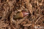 Herfstspanner (Epirrita dilutata)