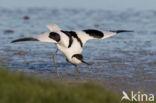Kluut (Recurvirostra avosetta)