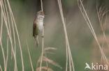 Grote Karekiet (Acrocephalus arundinaceus)