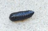 Kleine beer (Phragmatobia fuliginosa)