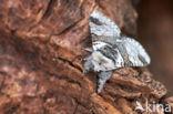 Kleine hermelijnvlinder (Furcula furcula)