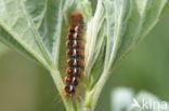 Bastaardsatijnvlinder (Euproctis chrysorrhoea)