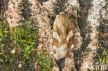 Breedbandhuismoeder (Noctua fimbriata)