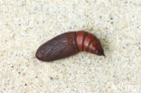 Kortzuiger (Crocallis elinguaria)