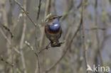 Blauwborst (Luscinia svecica)