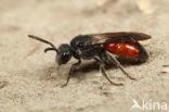 Kraagbloedbij (Sphecodes spinulosus)