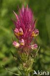 Wilde weit (Melampyrum arvense)