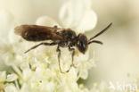 Glimmende dwergzandbij (Andrena minutuloides)