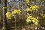 Ruwe iep (Ulmus glabra)